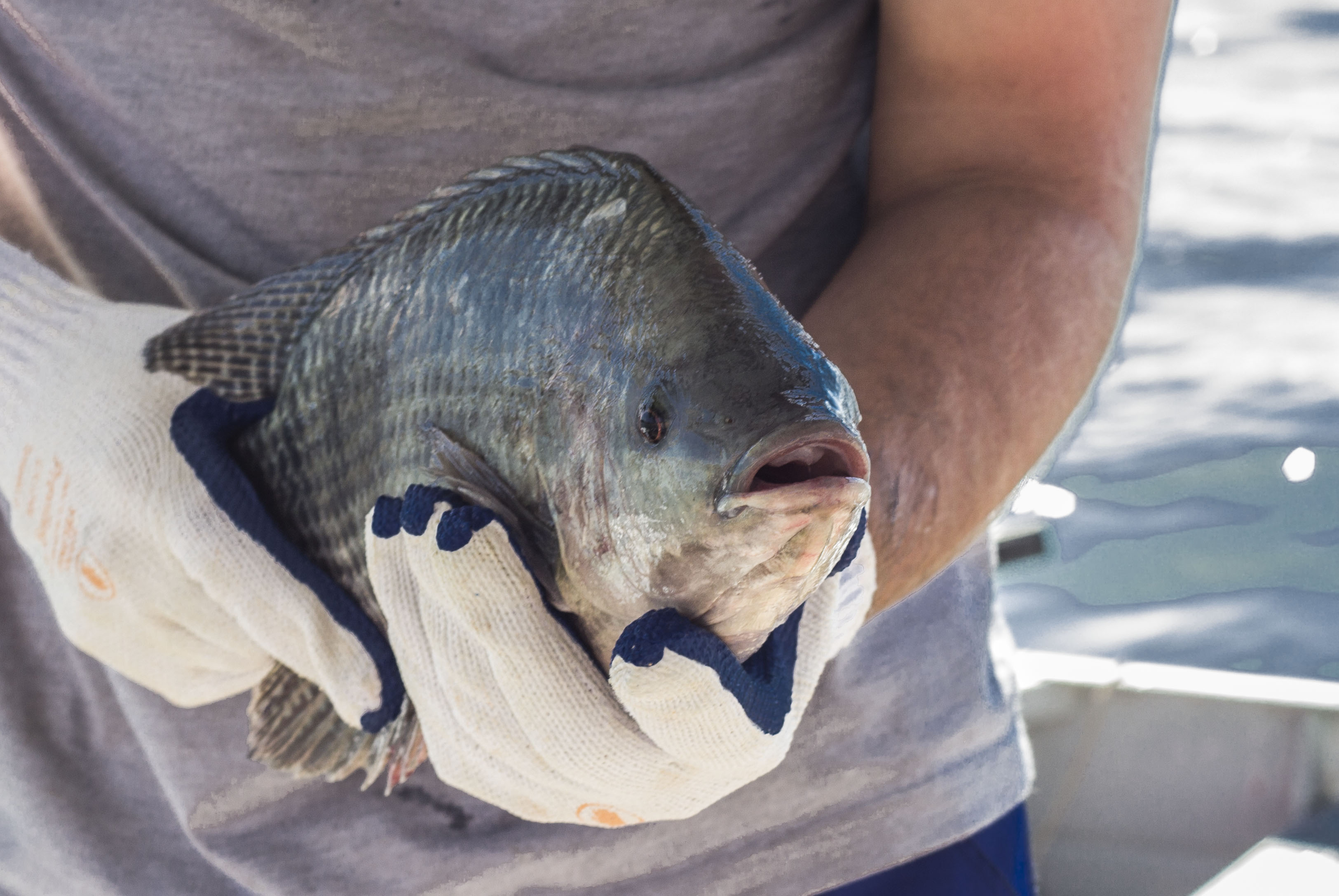 Tecnologias para evitar/ eliminar o off-flavor no pescado